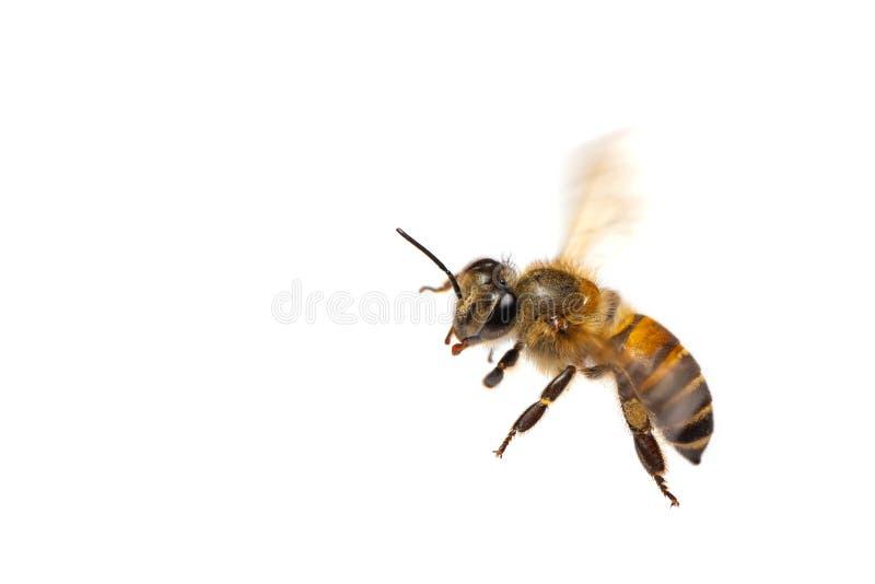 Un cierre para arriba de la abeja del vuelo aislada en el fondo blanco imagenes de archivo