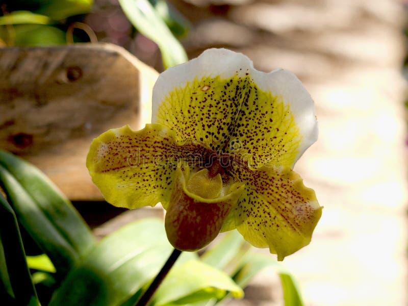 Un cierre para arriba de la flor del guttatum del Cypripedium del deslizador de señora entre hierba imagen de archivo libre de regalías