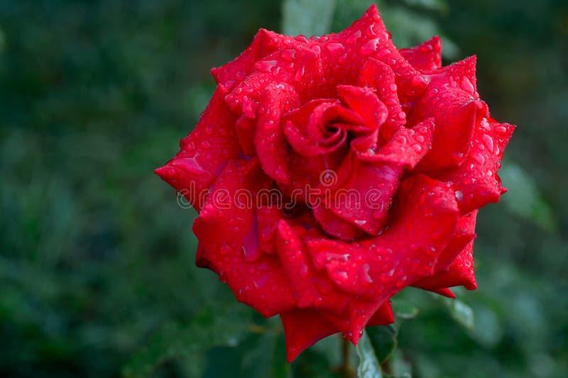 Un cierre para arriba de la rosa del rojo de la flor con las gotas de agua en los pétalos imágenes de archivo libres de regalías
