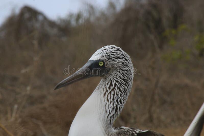 Un cierre para arriba de las plumas blancas y negras en la cabeza de un bobo azul-con base, nebouxii del Sula foto de archivo