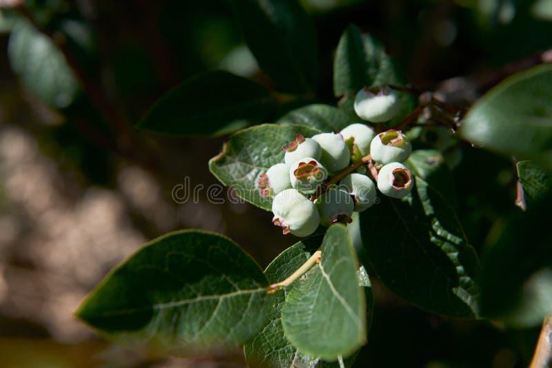 Un cierre para arriba de un manojo de arándanos de maduración verdes en un arbusto foto de archivo libre de regalías