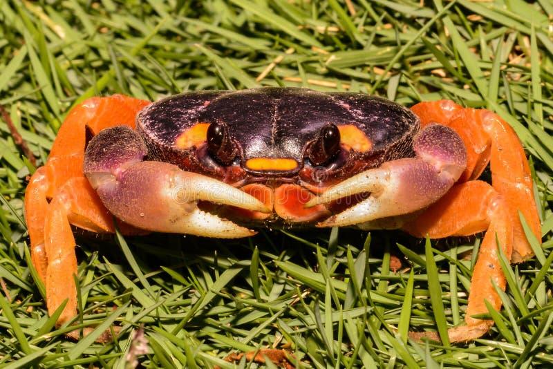 Un cierre para arriba del cangrejo de Halloween imágenes de archivo libres de regalías