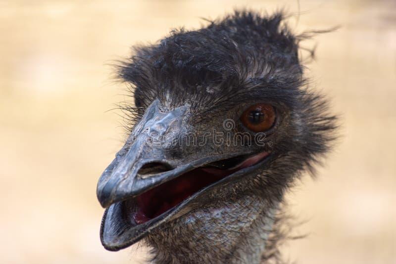 Un cierre principal del emú de los novaehollandiae australianos del Dromaius encima de la visión imágenes de archivo libres de regalías
