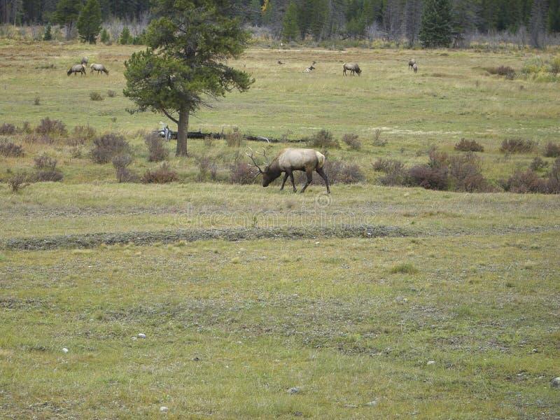 un ciervo en el campo que busca para la comida fotografía de archivo libre de regalías