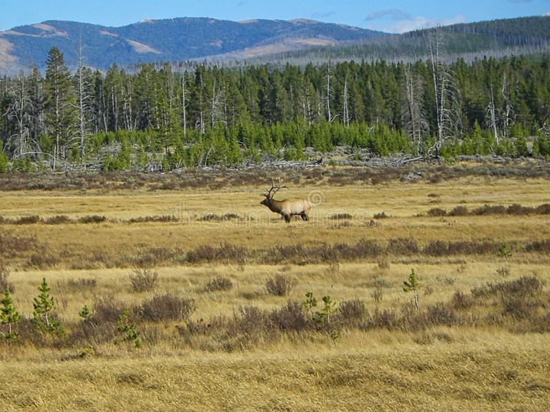 Un ciervo en Rocky Mountains fotografía de archivo