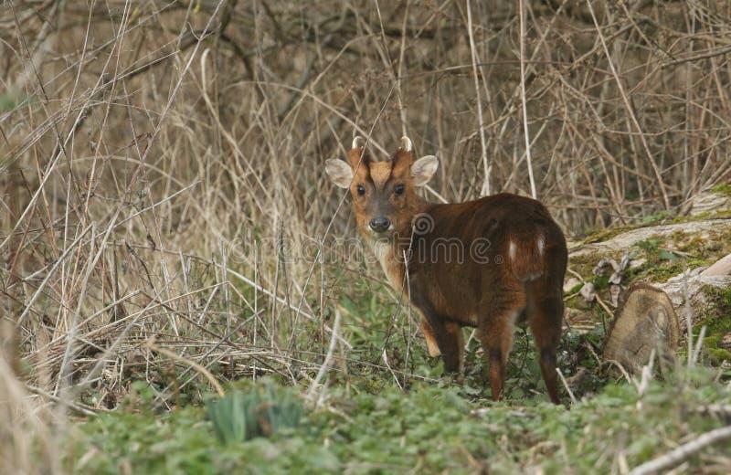 Un ciervo imponente de Muntjac del macho, reevesi del Muntiacus, alimentando en el borde del arbolado fotos de archivo libres de regalías