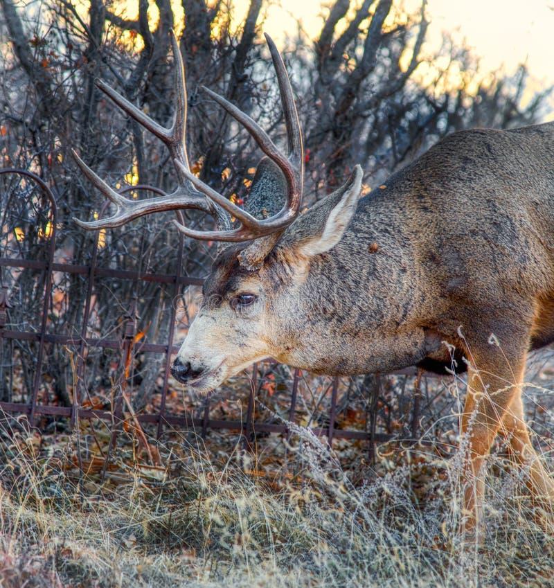 Un ciervo mayor grande del dólar de la mula con un estante enorme de astas en friega el roble imagen de archivo