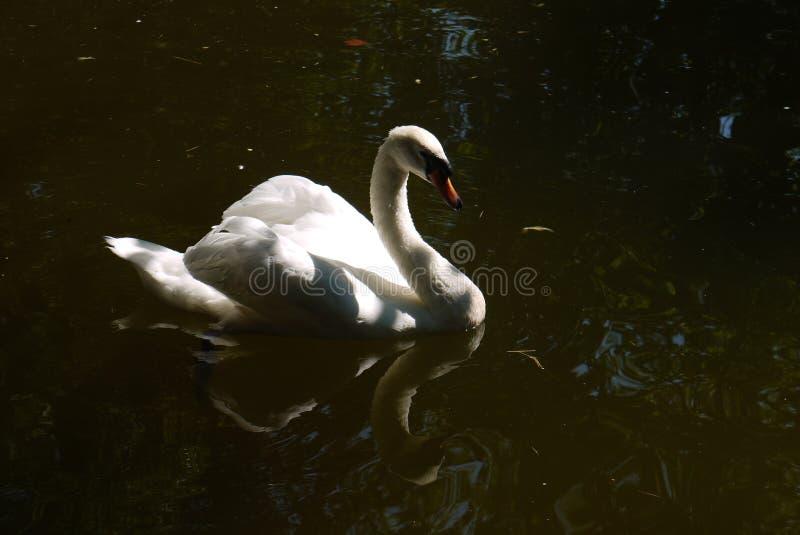 Un cigno bianco con un sembrare fiero che galleggia nello stagno che curva con garbo il suo collo esamina la sua riflessione dell fotografie stock libere da diritti