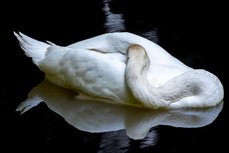 Un cigno bianco nuota, piegando il suo collo sulla superficie nera dello specchio dell'acqua fotografia stock libera da diritti