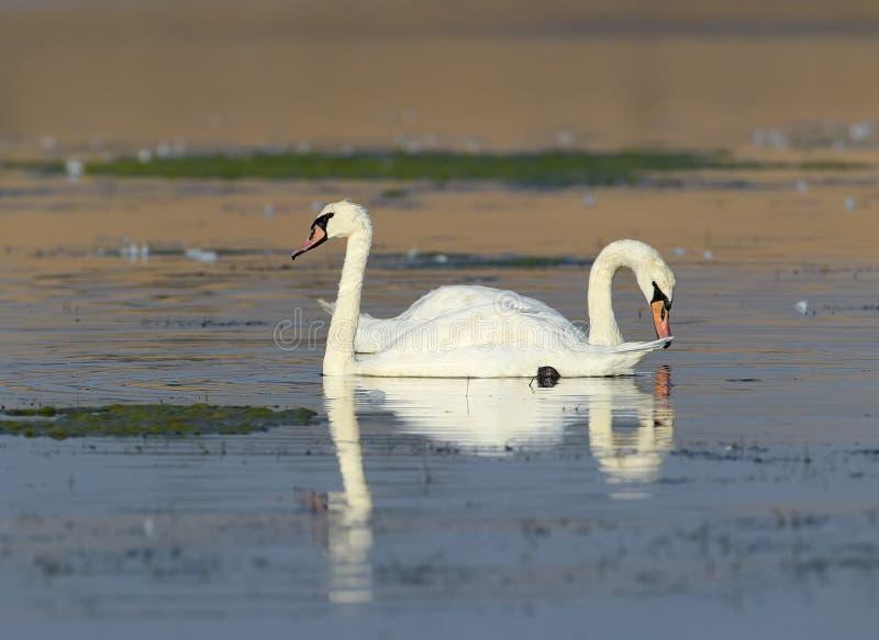 Un cigno di paia galleggia sull'acqua fotografia stock libera da diritti