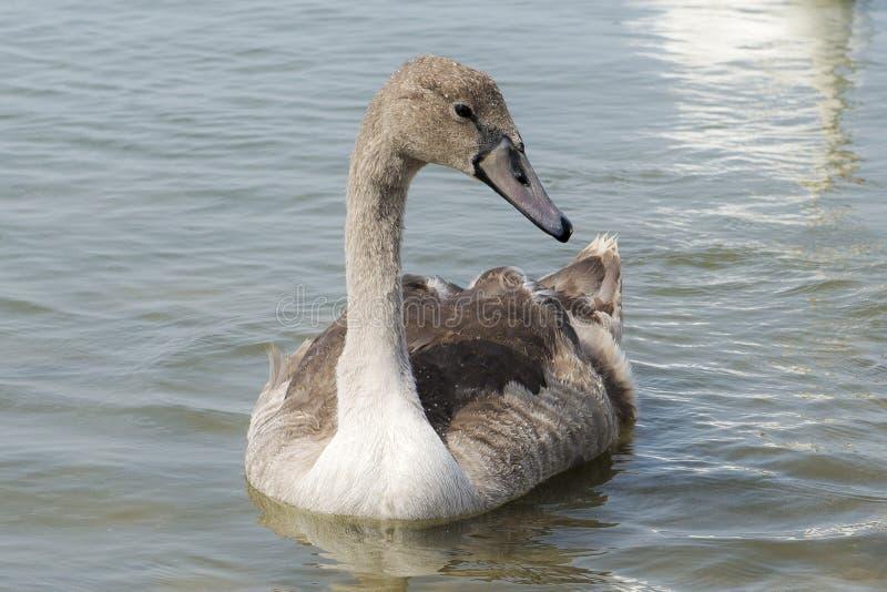 Un cigno grigio del bambino sul lago fotografia stock