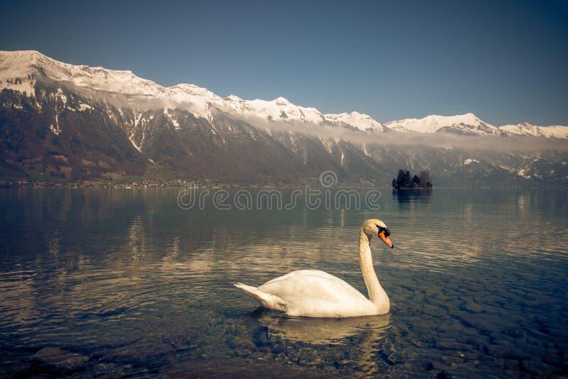Un cigno nel brienz del lago in Svizzera fotografia stock libera da diritti