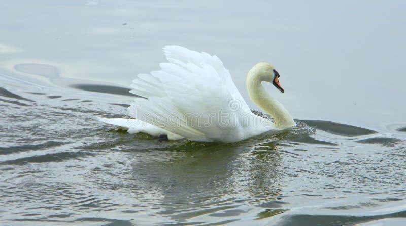 Un cigno nel lago fotografia stock libera da diritti