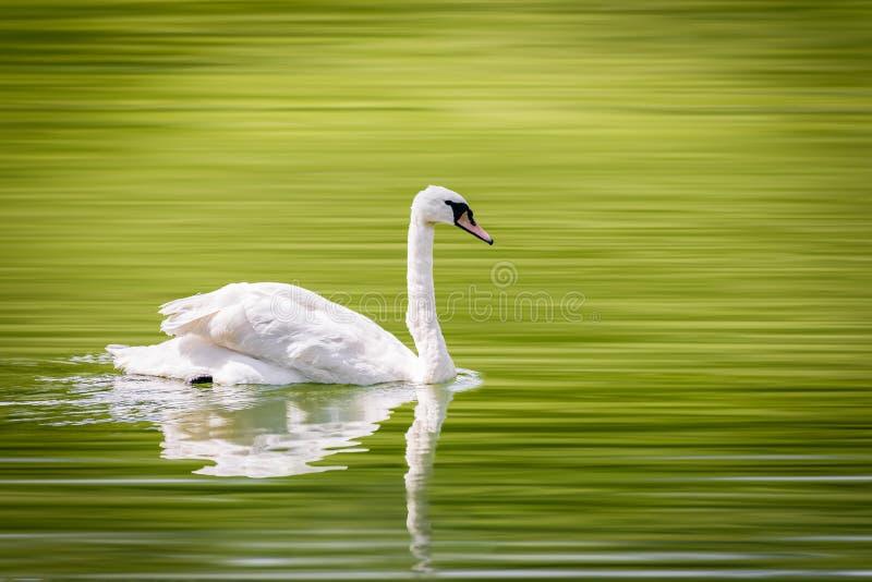 Un cigno solo nuota pacificamente in un piccolo lago fotografie stock libere da diritti