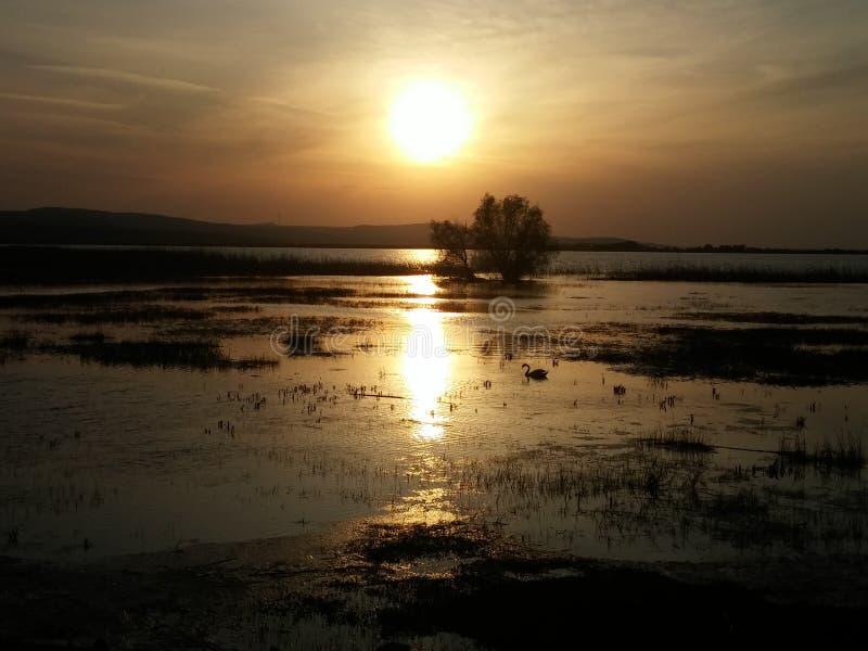 Un cigno sul lago immagine stock libera da diritti