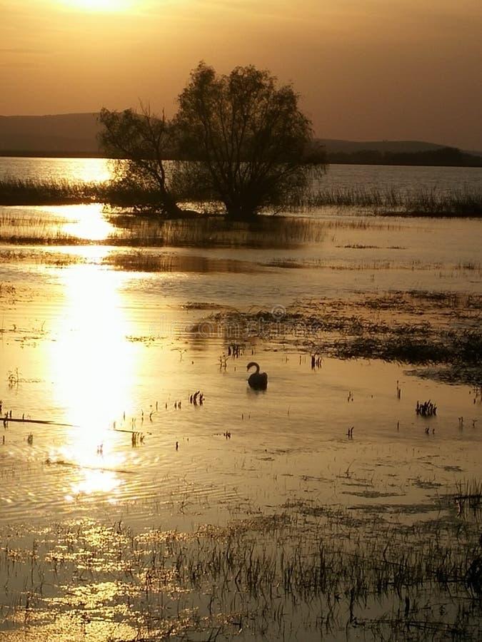 Un cigno sul lago immagine stock