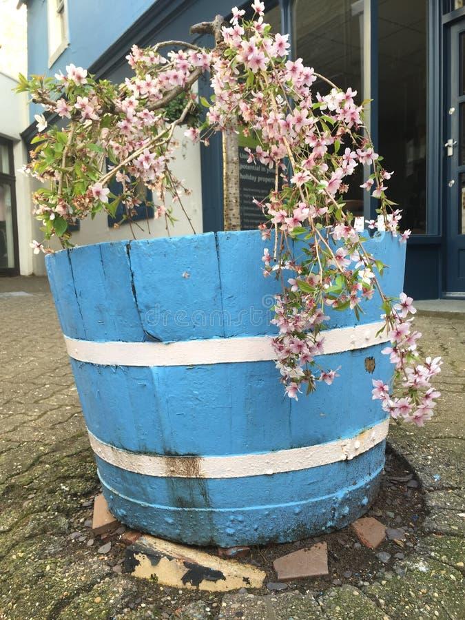 Un ciliegio di fioritura con i fiori rosa immagini stock libere da diritti