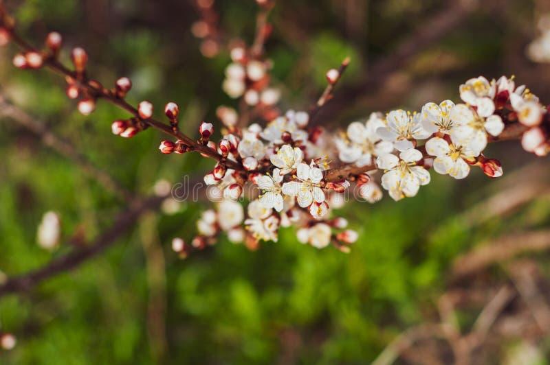 Un ciliegio di fioritura, un primo piano del ramo con i fiori bianchi e giovani foglie verdi, contro lo sfondo di erba verde fotografia stock
