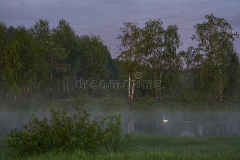 Un cisne blanco imagen de archivo libre de regalías