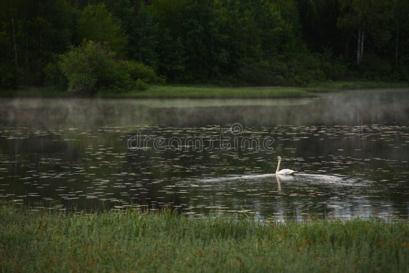 Un cisne blanco fotografía de archivo libre de regalías