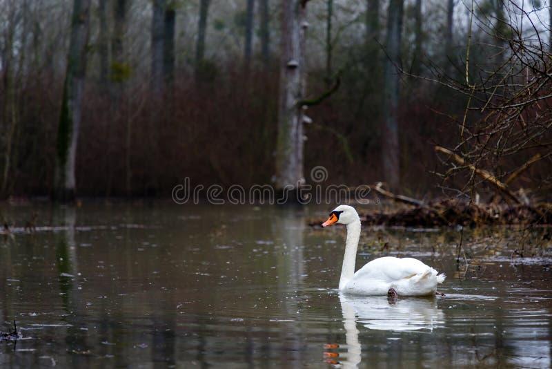 Un cisne blanco nada a través de un bosque inundado, fofo fotos de archivo libres de regalías