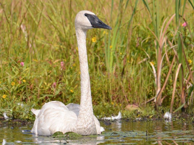 Un cisne de trompetista en un día soleado hermoso de la caída/del otoño - admitido el área de la fauna de los prados del Crex en  fotos de archivo
