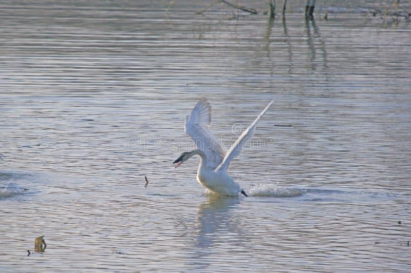 Un cisne de trompetista que toma vuelo fotos de archivo