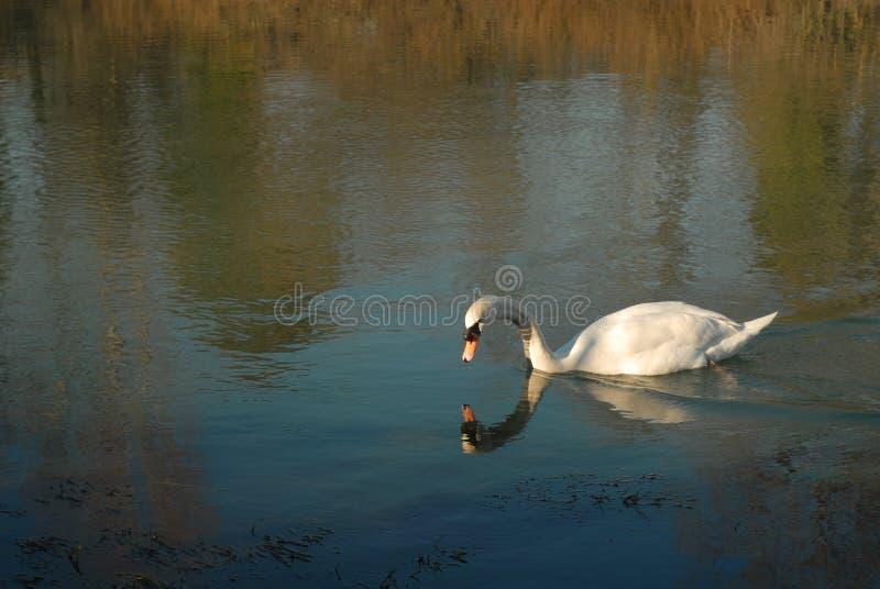 Un cisne duplicado en el agua fotos de archivo