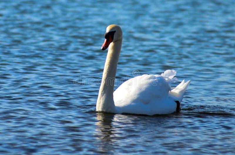 Un cisne en el lago Ontario fotos de archivo