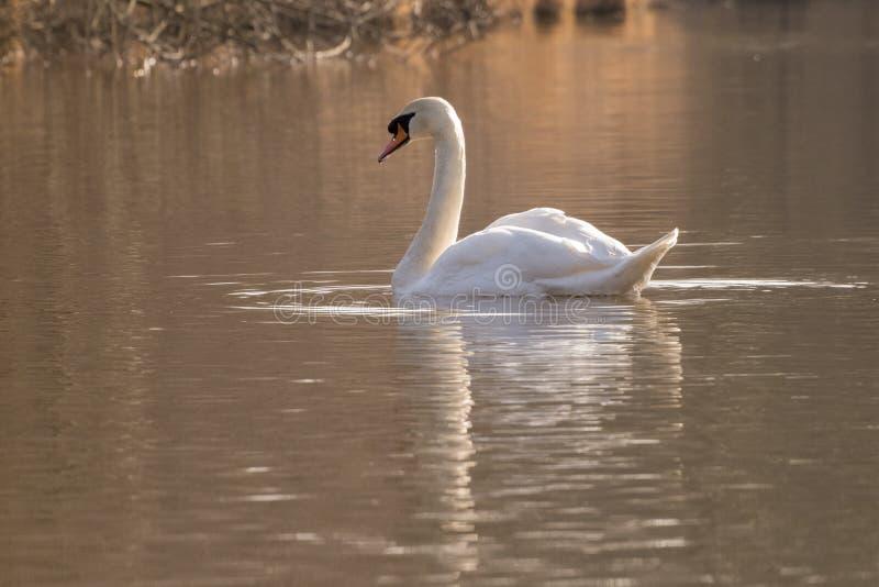 Un cisne en la luz de oro en la charca ornamental fotografía de archivo libre de regalías