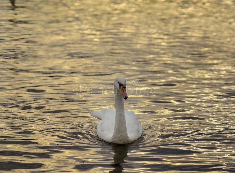 Un cisne en rippples del oro fotografía de archivo libre de regalías