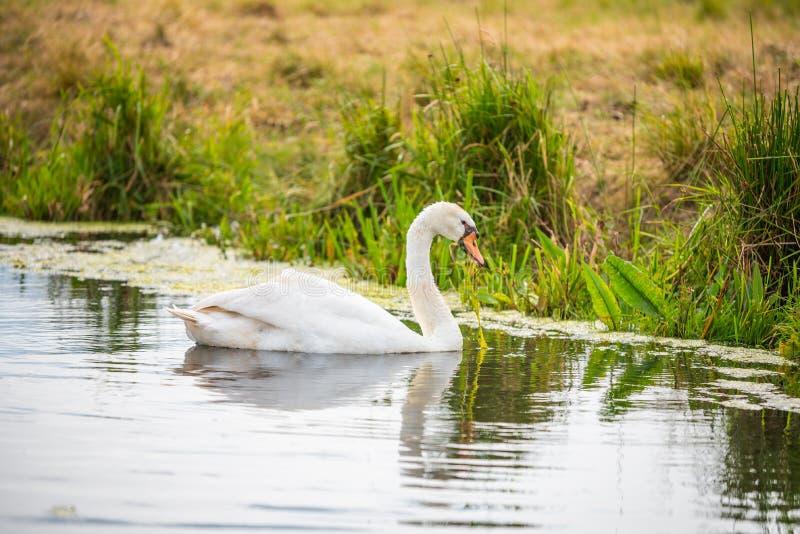Un cisne está en un río mientras que busca para la comida foto de archivo libre de regalías