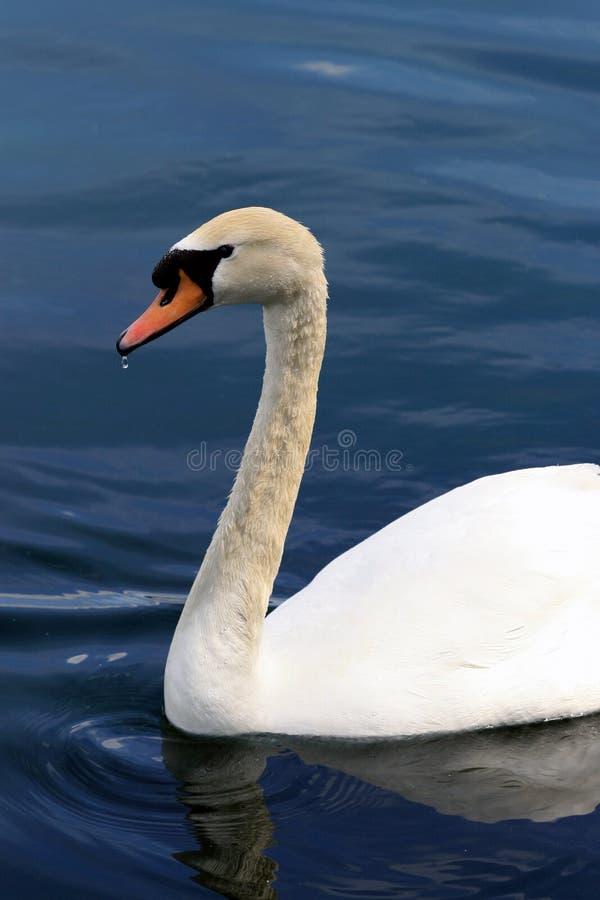 Un cisne hermoso en la Florida imagen de archivo