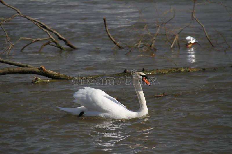 Un cisne joven nada tranquilamente en el agua fotografía de archivo