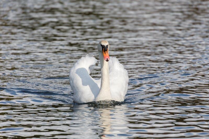 Un cisne mudo imagenes de archivo