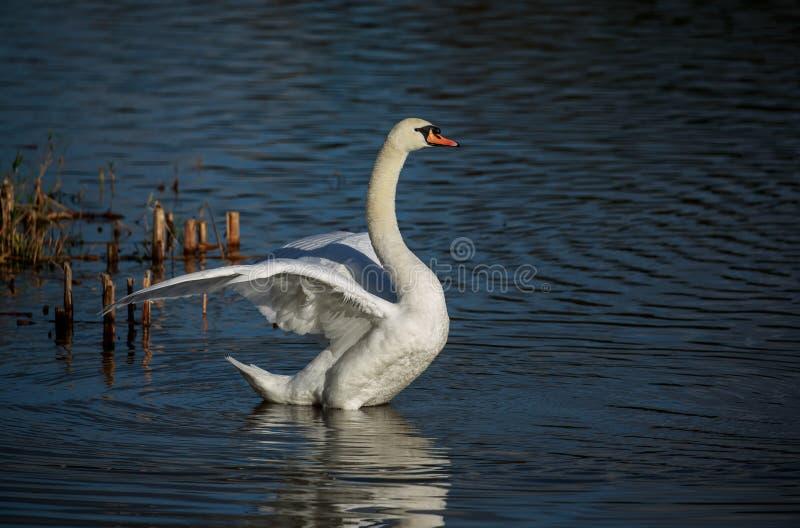 Un cisne mudo que agita sus alas imagen de archivo libre de regalías