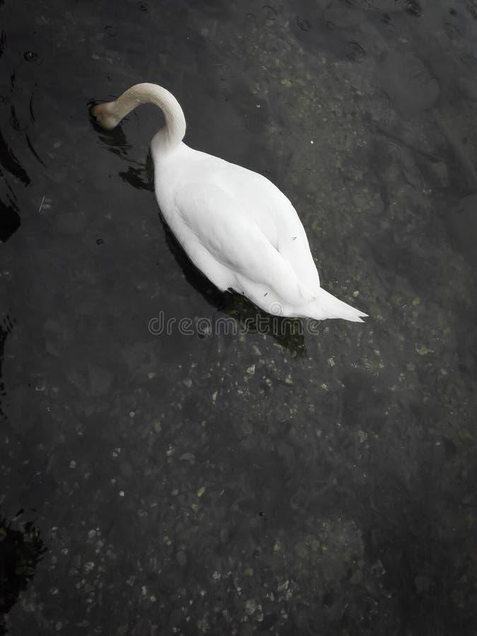 Un cisne nada en un lago con fotografía de archivo libre de regalías