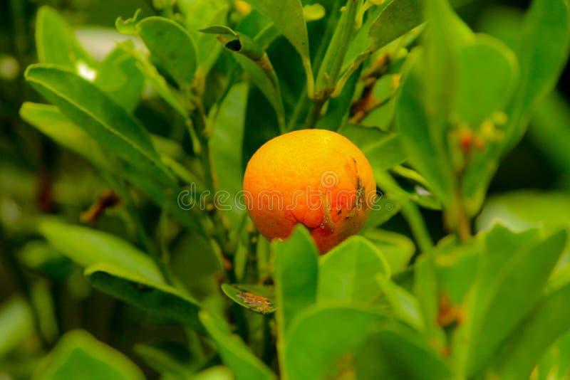 Un citron d'isolat image stock