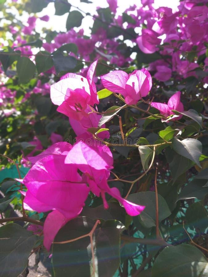 Un clic plus étroit de fleur rose images stock