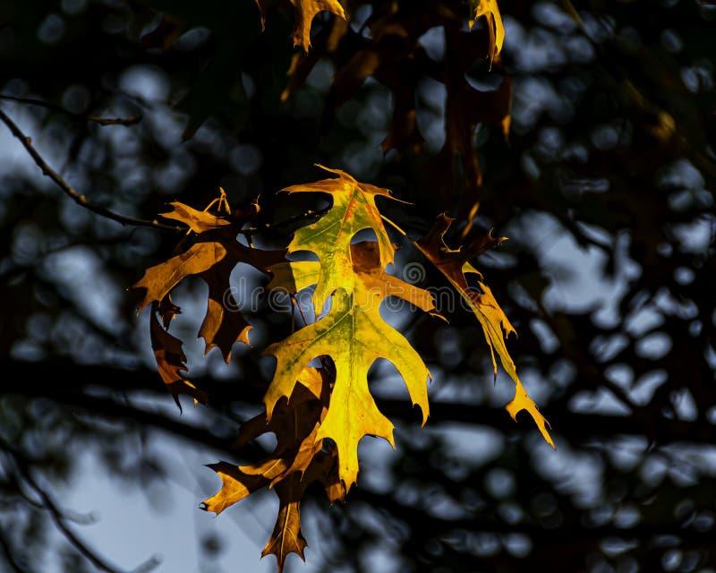 Un cluster di foglie di quercia verde e rosso arancione chiaro immagine stock libera da diritti
