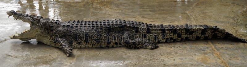 Un coccodrillo enorme con la bocca aperta pronta a mordere preda fotografie stock libere da diritti