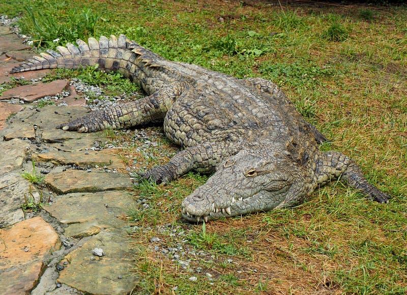 Un coccodrillo rilassato fotografia stock