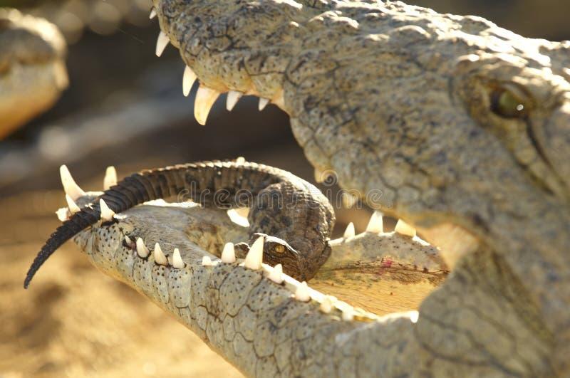 Un cocodrilo de la madre fotos de archivo libres de regalías