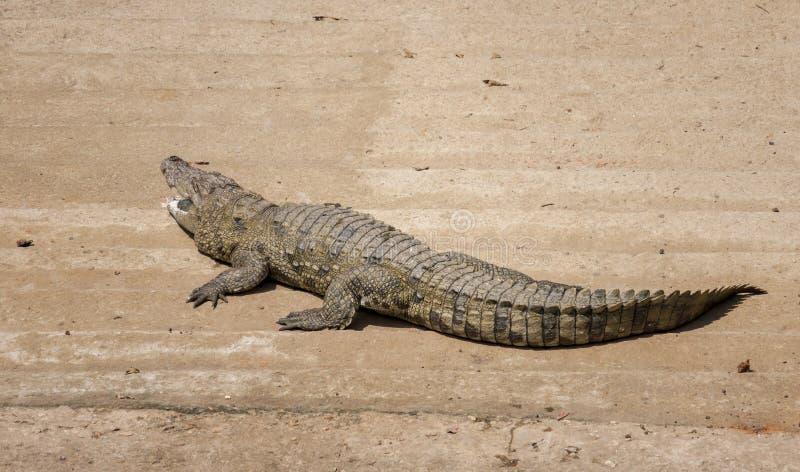 Un cocodrilo en el parque zoológico foto de archivo