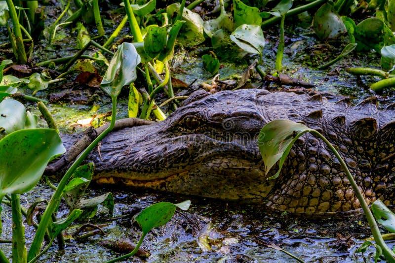 Un cocodrilo salvaje (mississippiensis del cocodrilo) que está al acecho en las vides enredadas de los pantanos de la curva de Bra fotografía de archivo