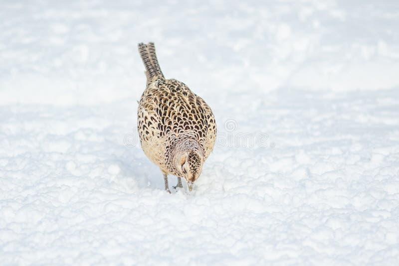 Un colchicus femelle de Phasianus de faisan, recherchant la nourriture sur la neige a couvert la terre photographie stock