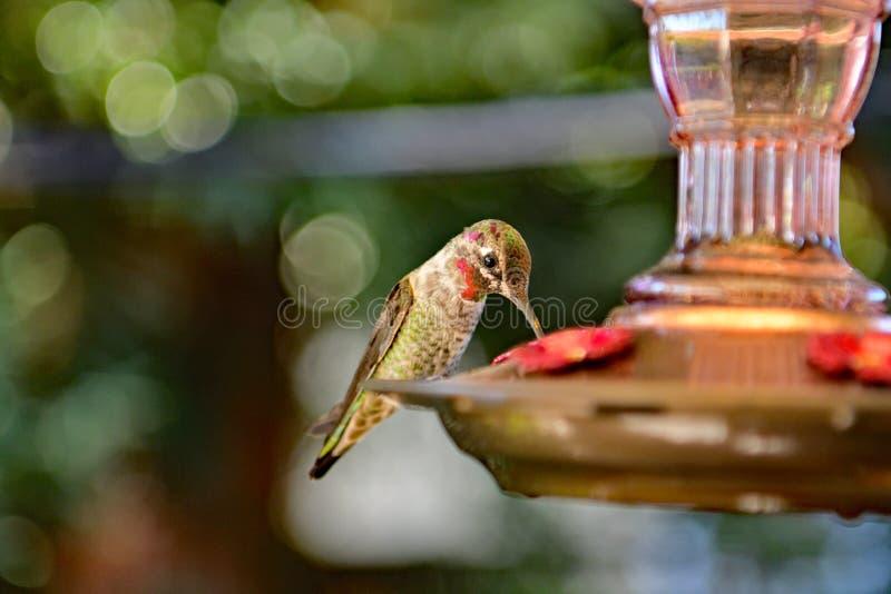 Un colibrì che si alimenta dall'alimentatore fotografia stock libera da diritti