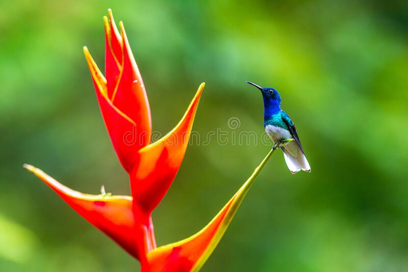 Un colibrì che si nutre di un fiore giallo immagine stock