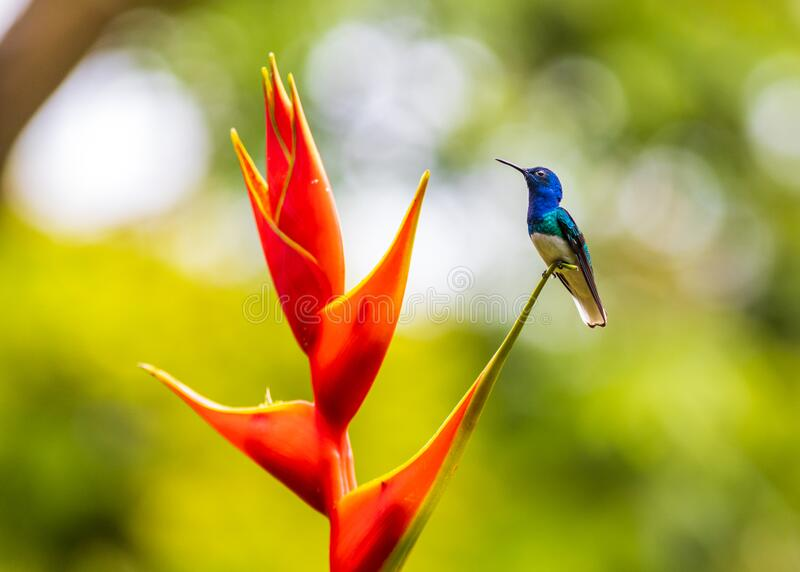 Un colibrì colorato su un fiore tropicale immagine stock