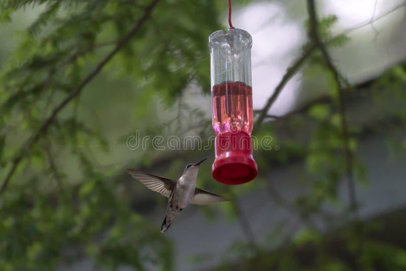 Un colibrì su un alimentatore in una foresta immagini stock libere da diritti